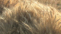 Backlite wheat sheaf - stock footage