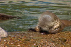 SF sea otter 02 Stock Footage