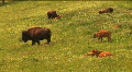 (1113) Bison Grazing on Ranch Land with Calves HD Footage