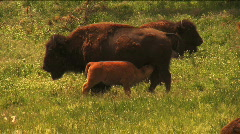 (1113) Bison Grazing on Ranch Land with Calves Stock Footage