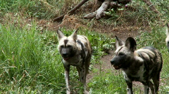 african wild dogs - stock footage