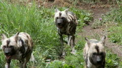 African wild dogs Stock Footage