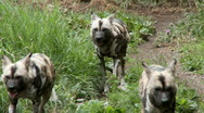 Stock Video Footage of african wild dogs