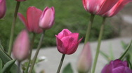Pink tulip. Stock Footage