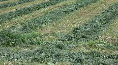 Alfalfa cut in rows pan P HD 1930 Stock Footage