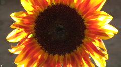 Sunflower Vibrance Stock Footage