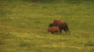 (1113) Running Bison Grazing on Ranch Land with Nursing Calves Stock Footage