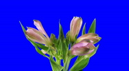 Time-lapse of opening pink peruvian lilies 6ck blue chroma key Stock Footage