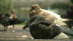 Pigeons at Rabin square 3 Stock Footage