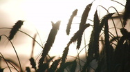 Wheat crops at sunset 2 Stock Footage