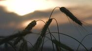 Wheat crops at sunset 4 Stock Footage