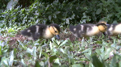 Mother Duck with Ducklings  2 of  8 Stock Footage