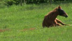Brown Horse Rolls Over In A Farmers Field Stock Footage