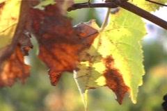 Pan to discolouring autumn vine leaf closeup - stock footage