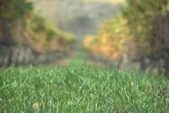 Vineyards long shot roll focus Stock Footage