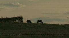 Cattle on skyline through heathaze at dusk Stock Footage