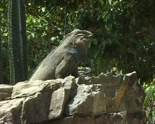 Leguan in the zoo Stock Footage