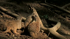 Meerkats playing in dirt by logs in shaded wooded area Stock Footage