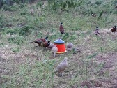 Stock Video Footage of pheasant in captivity
