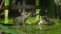 Frogs in pond (HD NTSC) Stock Footage