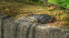 Frog on moss covered well (HD NTSC) Stock Footage