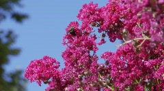 CrapeMyrtleBee (P5) - stock footage