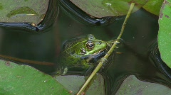 Frog in pond (HD NTSC) Stock Footage