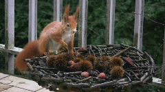 Eurasian red squirrel finds hazelnut Stock Footage