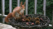 Stock Video Footage of Eurasian red squirrel finds hazelnut