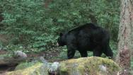 Black bear 3a Stock Footage