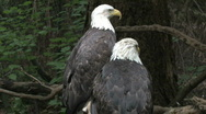 Stock Video Footage of Two Bald Eagles on Branch 1
