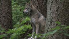 Gray Wolf Sitting in Forest 1 - stock footage