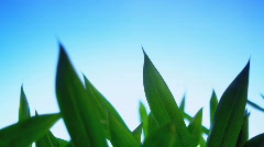 Bamboo leaves close-up nr 1 Stock Footage
