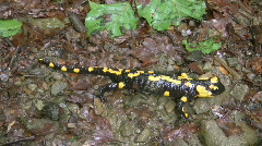Fire salamander, HD - stock footage