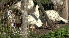 Goose At Swiss Farm Stock Footage