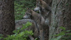 Gray Wolves 2ab Stock Footage
