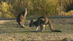 Two kangaroos eating grass in a park on sunset Stock Footage