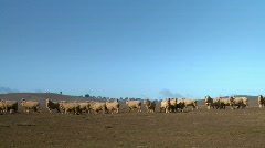 Flock of Sheep, Grazing, Arid Dry Farmland, Drought Stock Footage