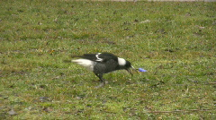 Magpie pecking something in green grass Stock Footage