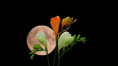Montage of opening white orange freesia buds and moon 5 Stock Footage