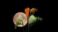 Stock Video Footage of Montage of opening white orange freesia buds and moon 5