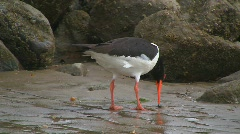 Oystercatcher - stock footage