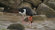 Stock Video Footage of Oystercatcher