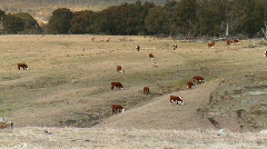 Hereford Cattle, Farm, Dry Countryside, Grazing Land Stock Footage