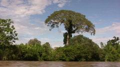 kapok tree (Ceiba pentandra)  Stock Footage