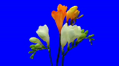 Time-lapse opening fading white orange freesia 6ck blue chroma key - stock footage