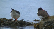 Oystercatcher Stock Footage