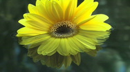 Yellow Flower Floats Stock Footage