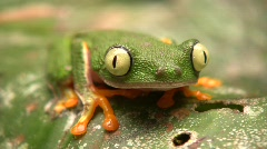 Leaf Frog (Hylomantis hulli) Stock Footage