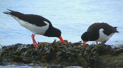 Oystercatchers Stock Footage